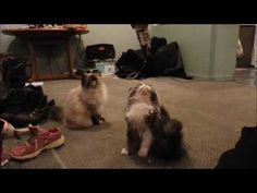 mouse speed training persian style!