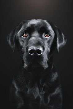 Mind Blowing Facts About Labrador Retrievers And Ideas. Amazing Facts About Labrador Retrievers And Ideas. Labrador Facts, Black Paper Drawing, Black Labrador Retriever, Labrador Retrievers, Most Popular Dog Breeds, Dog Portraits, Animal Paintings, Beautiful Dogs, Dog Art