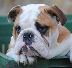 Barry the bulldog (by scattomatto56, via Flickr)