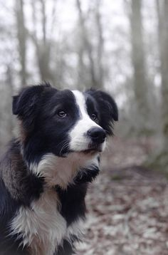 Border Collie on @yummypets