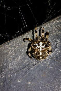https://flic.kr/p/CCPLGi | Spanish Spider