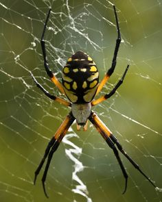 Black and yellow garden spider, Argiope aurantia, Alligator River National Wildlife Refuge