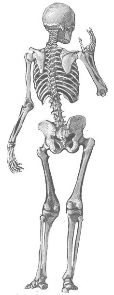 Skeleton: Black And White Illustration Of The Skeletal Structure Of The Human Body. Anatomy Drawing, Anatomy Art, Human Anatomy, Skeleton Drawings, Human Skeleton, Skeleton Bones, Life Drawing, Figure Drawing, Skeleton Anatomy