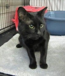 Odie is an adoptable Domestic Short Hair-Black Cat in Fairbanks, AK. Odie will take all the loving you can give him. He is just an all around really nice guy and very anxious to be part of a family.