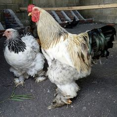 agen sabung ayam online - Klik picture for information Chicken, Pictures, Animals, Photos, Animales, Animaux, Animal, Animais, Grimm