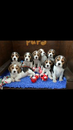 Beagle Pups (The photographer MUST be holding a treat. There's no other way all of these beagle pups would be sitting perfectly still staring at the camera.)