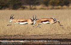 Springbok @ Khutse Game Reserve in #Botswana. Visit www.safaribookings.com/khutse for a #Khutse travel guide with maps, user reviews and safari tours.