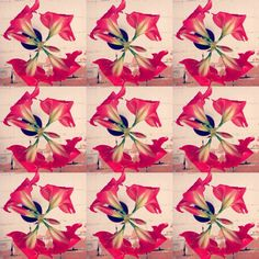 Power of flowers #amaryllis #vintage #forme #flowers #design #instagram #instacollage #instapic #redflowers #giftwrapping #giftwrap #present #designer #communication #bienetre #ligne #coaching #coachingimage #vintagestyle #coachingnutrition #nature #naturephotography #creative