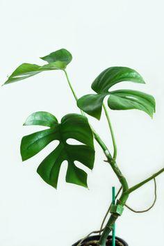 plantas-para-ti - Rhaphidophora tetrasperma (Monstera deliciosa look-a-like)