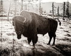 Buffalo are some of the coolest animals ever!
