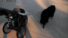 Just a Baby Taking The Dog For a Walk Before They Can Walk
