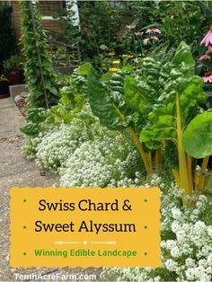Edible garden 269653096426257144 - Swiss Chard and Sweet Alyssum: Winning Edible Landscaping Combination Source by kvmommy Garden Inspiration, Alyssum, Plants, Permaculture Gardening, Edible Landscaping, Edible Garden, Garden Landscaping, Garden, Shade Garden