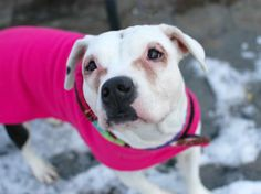 """TO BE DESTROYED 12/28/13 Manhattan Center -P  LOVELY #A0987166  Spayed female wht & blk eng bulldog mix STRAY 12/11/13 THIS PUP IS ONLY 1 YR OLD!!! Perky & spunky, Lovely is quick to make friends, comfortable w/ all. She's also quite an athlete.  Her upbeat manner is so contagious. Ask her to """"sit"""" or shake """"paw"""" and she quickly responds. So if you're looking for an energetic girl w/ lots of style and a desire to learn come see Lovely. Give her a bright future - adopt her today!"""