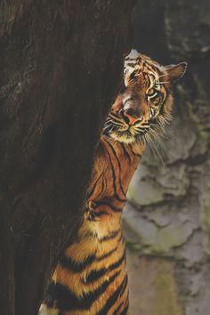 Hidden Tiger #WOWanimals #WOWparksandzoos