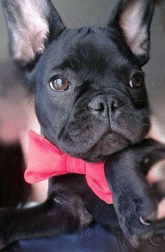 French Bulldog Puppy in a Bowtie.