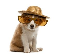 Border Collie puppy wearing a straw hat and glasses Royalty Free Stock Photos , Puppy Pictures, Cute Pictures, Border Collie Pictures, Border Collie Puppies, Puppy Breeds, Mammals, Dogs And Puppies, Royalty Free Stock Photos, Pets