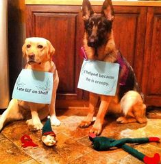 Ever wondered which dogs are on the naughty list, permanently? We bet these 10 are on it for life, and loving every minute of it! – Elf on a Shelf Killers We all agree the Elf is bit creepy. Maybe the kids put the dogs … Xmas Elf, Christmas Dog, Christmas Birthday, Christmas Humor, Birthday Gifts, The Elf, Elf On The Shelf, Elf Auf Dem Regal, Dog Fails