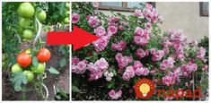 Tento recept praktizovala už môj dedko, ktorý si pestovaním rajčín privyrábal a vedel o nich naozaj všetko. Ja síce rajčiny v takom množstve nepestujem, ale naučila sa perfektnú vec, ako ich možno využiť v záhrade Floral Wreath, Wreaths, Garden, Plants, Floral Crown, Garten, Door Wreaths, Lawn And Garden, Gardens