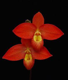 Phragmipedium orchid care