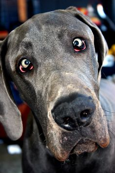 Ah! What's it? I've never seen such a thing before.  beautiful #greatdane