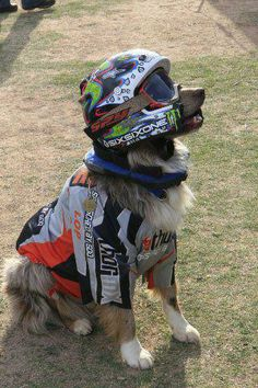 Super Dirt Bike Dog....#wearing the latest in safety gear including a helmet!