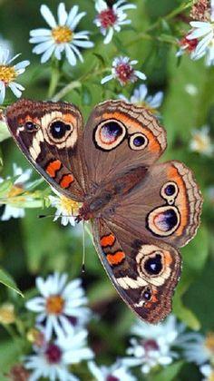 ◑≈◑≈◑≈◑ Buckeye Butterfly ◑≈◑≈◑≈◑