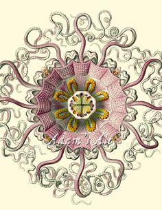 "Periphylla/Peromedusae (Giant Jellyfish) by Ernst Haeckel, 8 x 10"""