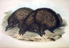 Tachyglossus aculeatus by John Gould,  Mammals of Australia (1849-1861)