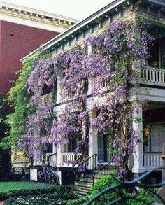 Wisteria gives any setting a classic romantic feel.  Every Southern home becomes enchanted with Wisteria!