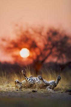 Leopard at sunset ✿⊱╮