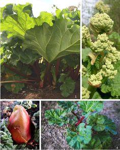 Réussir la rhubarbe au jardin