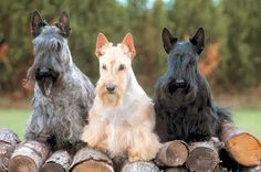 Scottish Terrier. They are members of the terrier group. They are great fox and vermin hunters. They stand at 10 inches at the shoulder and weigh about 18-22 pounds. Winner: 1911, 1945, 1950, 1965, 1967, 1985, 1995, and 2010.