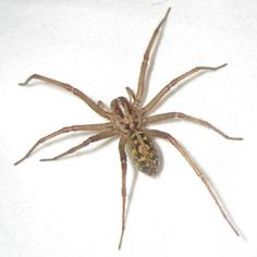 north american spider Hairy