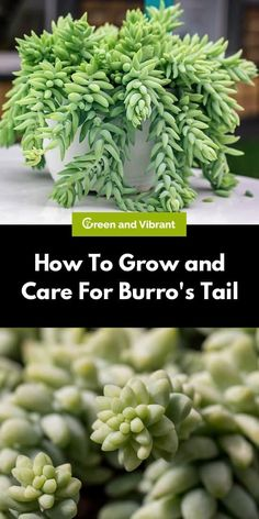 Burro's tail is a popular succulent that is easy to grow and requires very little care. In fact, this plant thrives on neglect and will be extremely forgiving if you miss an occasional watering.
