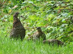 Ruffed Grouse family / Famille de Gélinotte huppée - Ivanhoe Lake Provincial Park (August 2014) Grouse, Bird Pictures, Scenery, Birds, Memories, Park, Animals, Memoirs, Souvenirs