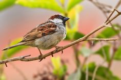 Save our sparrows