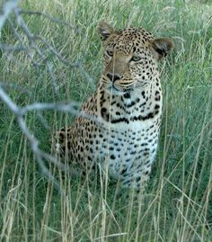 Did you know that leopards have unusually long whiskers? Leopards, Did You Know, Wildlife, Creatures, African, Animals, Animales, Animaux, Animais