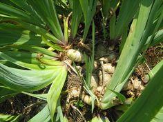 Storing Iris Rhizomes: How To Store Iris Rhizomes For The Winter