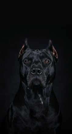 Amazing Protrait of A Cane Corso-An. Amazing Protrait of A Cane Corso An. Amazing Protrait of A Cane Corso - Pitbull Wallpaper, Dog Wallpaper Iphone, Tier Wallpaper, Animal Wallpaper, Big Dogs, Cute Dogs, Dogs And Puppies, Giant Dogs, Beautiful Dogs