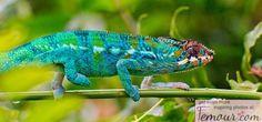Chameleon most colorful animals Animal Facts, Animal Memes, Colorful Animals, Cute Animals, Small Animals, Llamas Animal, Animal Tatoos, Tiers Monde, Chameleon Lizard