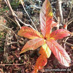 Herbst-Laub meiner Mispel #herbst #fall #autumn #gardening #food