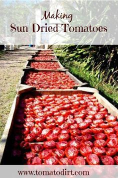 Growing Organic Tomatoes Making sun dried tomatoes: a step by step tutorial with Tomato Dirt Make Sun Dried Tomatoes, Cherry Tomatoes, Grow Tomatoes, Heirloom Tomatoes, Determinate Tomatoes, Tomato Garden, Tomato Vine, Garden Tomatoes, Tomato Pesto
