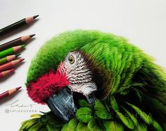 Macaw Parrot. Realistic Wild Animal Drawings. By Chloe O'Shea.