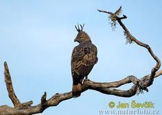 hawks and eagles | Crested hawk-Eagle Photos, Crested hawk-Eagle Images | NaturePhoto-CZ