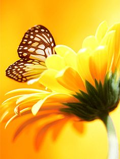 Monarch butterfly on yellow gold flower.
