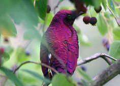 Violet-backed starling, amethyst starling