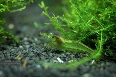 Caridina babaulti green