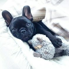 Happy weekend ❤❤❤ montgomery, the French Bulldog Puppy, @montgomerythefrenchie