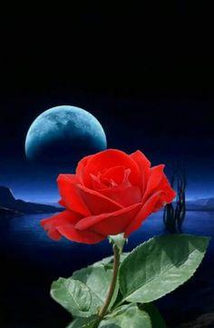 Rose in moonlight Beautiful Night Images, Very Beautiful Flowers, Beautiful Moon, Beautiful Pictures, Wallpaper Nature Flowers, Rose Wallpaper, Lavender Roses, Red Roses, Virtual Flowers