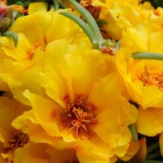 Portulaca blooms - Colourful, water wise, easy going and will fill a patch in your garden where not much else will thrive, what more could a gardener want? www.essentials.co.za